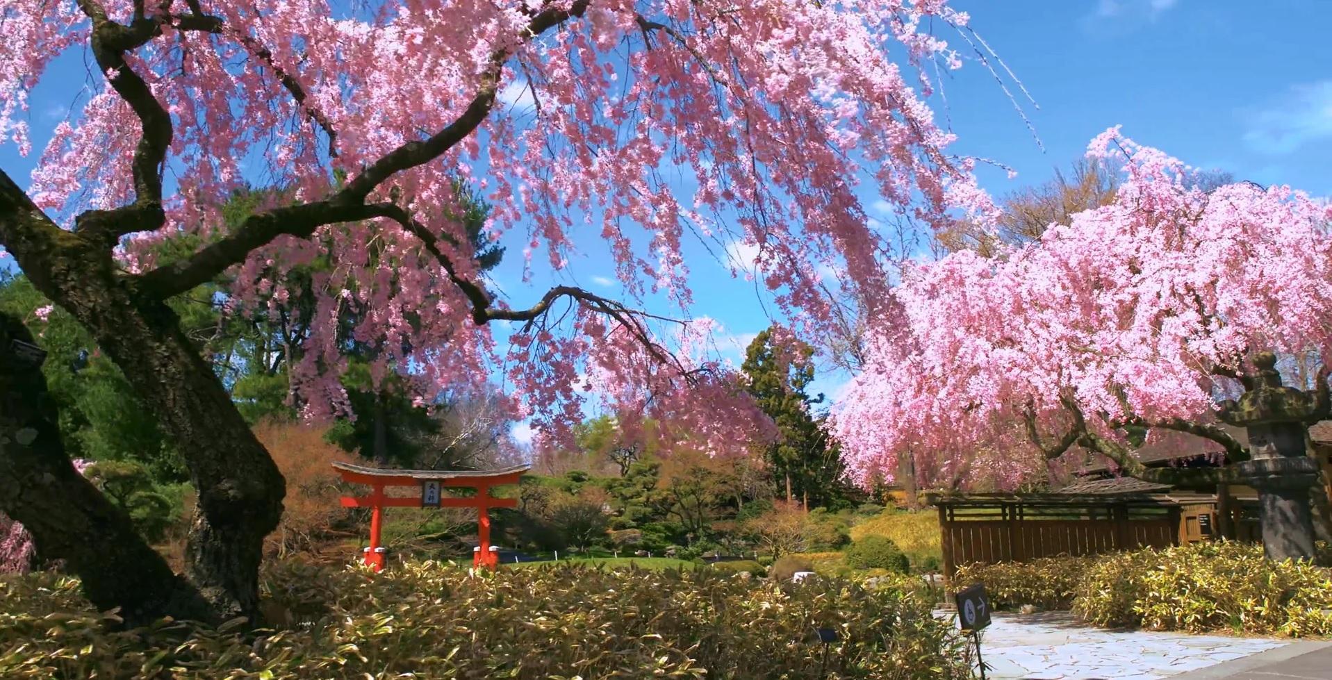 VIDEO: Brooklyn Botanic Garden, Stroll through the Japanese Garden in Bloom